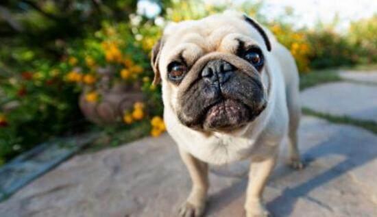 邓超养了只唱歌的狗,入选最爱女生的狗狗排男生图片拉女生着图片