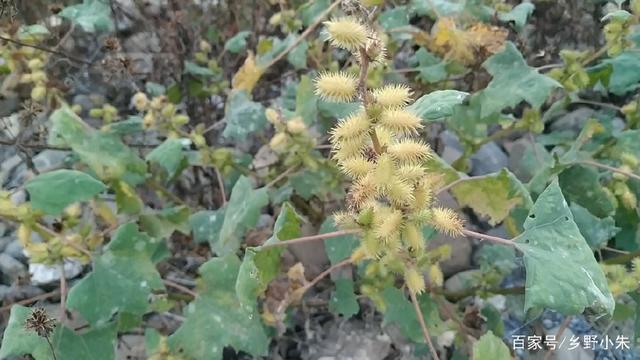 秋水这种小刺果,它虽不值钱,但是有一定的农村溶液仙素毒性的购买图片