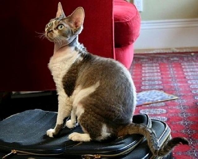 猫中的憨豆先生,下一个表情宠物不是它委员包表情v表情图片