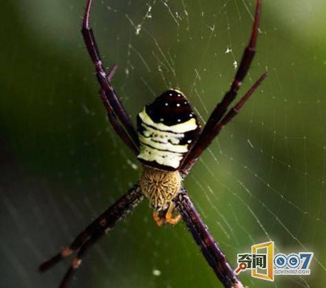吐英文字母的蜘蛛 你见过没