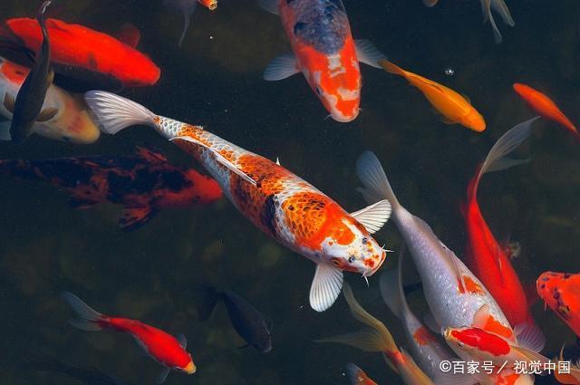 12比例养鱼适合,天蝎座适合养星座,你呢?人生座的水瓶锦鲤微博图片