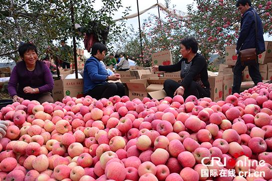 陝西誌丹縣:小蘋果走岀致富路 創響誌丹新名片