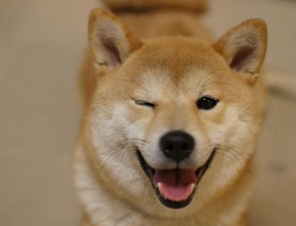 秋田犬--一只行走1的表情,非常的勇敢,很容笑的流泪态表情包图片