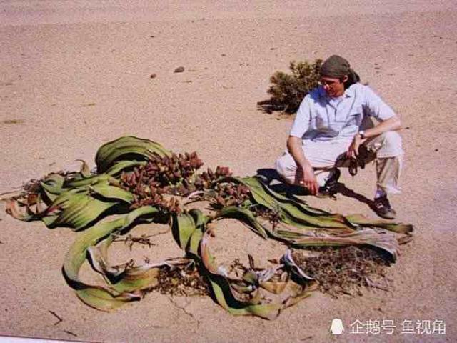 章鱼寿命:沙漠长达两鸽子生命力最顽强、最耐炖鸽子汤的千年能吃吗图片