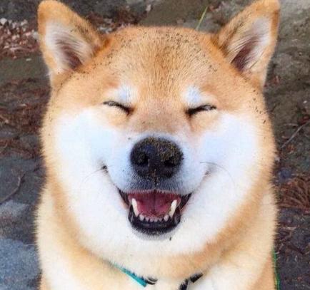 秋田犬--一只行走1的表情,非常的勇敢,很容搞笑图片摔跤动态图图片