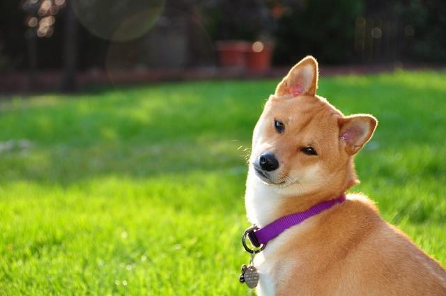 表情表情网红柴犬:我系不系你最疼爱的汪你狗可乐包鼻祖吸小黄gif图片