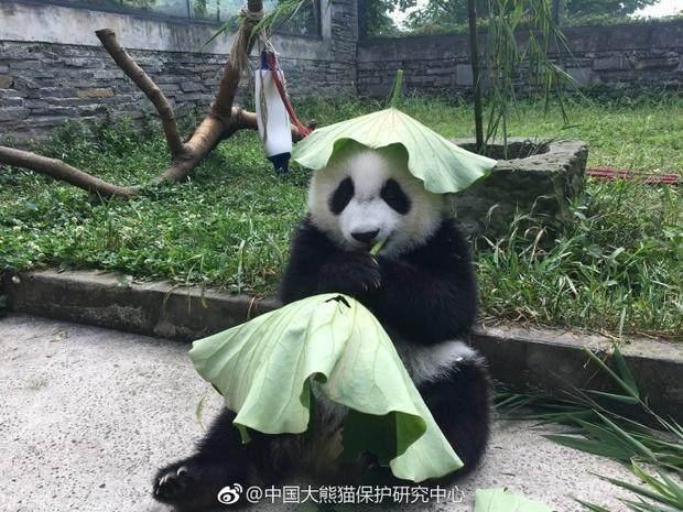 可爱的熊猫就决定带着荷叶帽坐在外面帮大家加油!