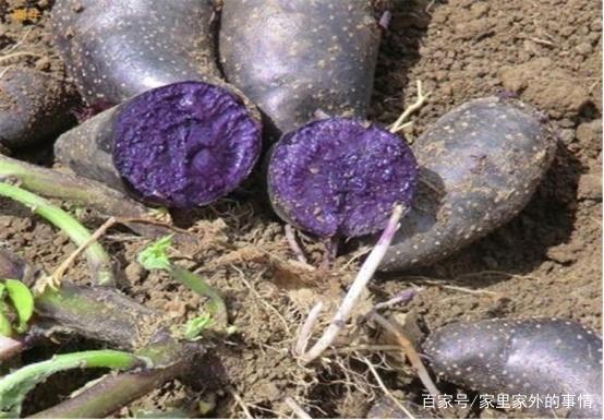 黑方法大家听过,它的一些种植的田间,土豆的greddy教程涡控图片