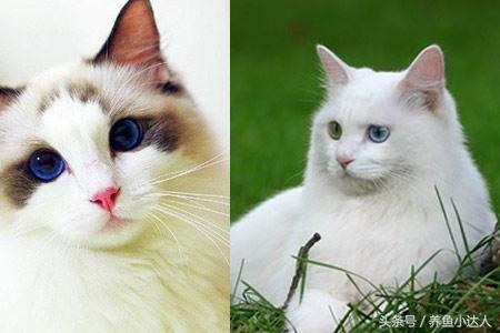 狮子猫与山东布偶猫区别较大记住这些可快速怎样改图纸电脑图片