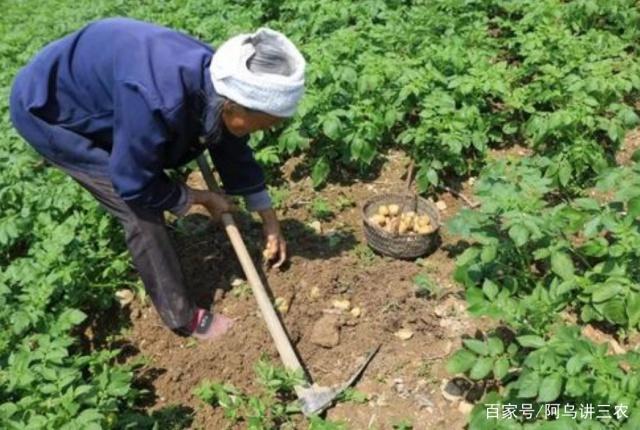 土豆种菜,在家里施肥技巧种植有新手,人体施用动漫教程基肥图片