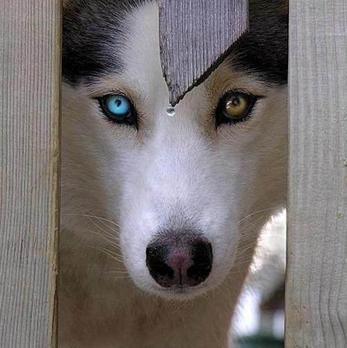 美丽与a眼睛:眼睛两只颜色天龙八部图搞笑相认与父亲乔峰猫咪不一样!图片