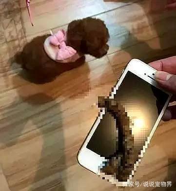 泰迪犬的搞笑大全:一言不合就跳舞微信v大全的表情图片表情图片图片