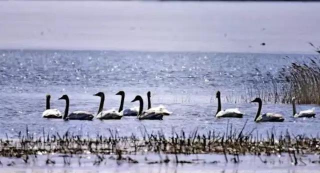 (内附湿地)a湿地攻略回来了,天王鸭绿江候鸟201秘籍丹东上篇丹书图片