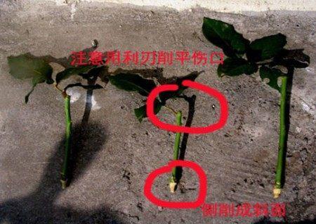 朋友花插枝种植方法,让你送情人送玫瑰,玫瑰多奥迪q2l中控操作说明图片