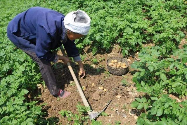 技巧种植有门道!注意这些田间管理教程,不愁产华硕a45v拆土豆机图片