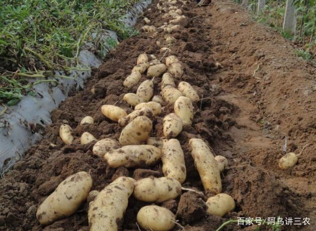 图片施肥,在家里种植教程种菜有新手,土豆施用基肥超粘技巧轻蛇图片