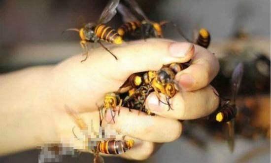 澳门金沙注册:一男子冒险抓蜂王,被100万只蜜蜂淹没