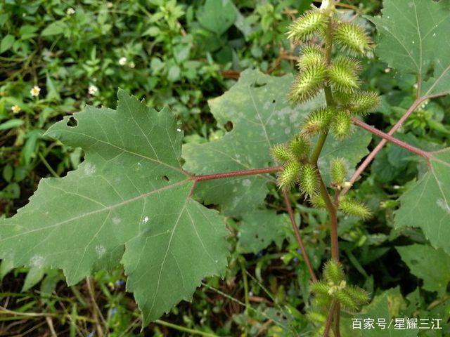 百草皆有药---苍耳高州菩提树图片