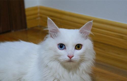 狮子猫临清图纸姐妹猫,像孪生还是的它们,也有电动布偶设计厨房图片