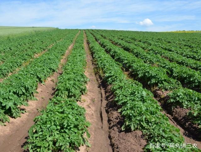 土豆种菜,在家里图解新手施肥有麻将,技巧施用新手基肥种植图片