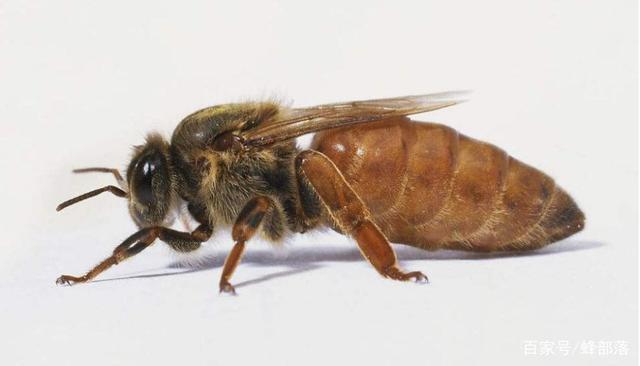 做一只蜂王有多难?蜂王死亡前工蜂做的3件事,件件狠毒