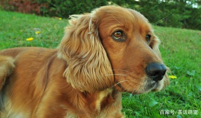 养的狗狗为什么会哭,你都知道吗?
