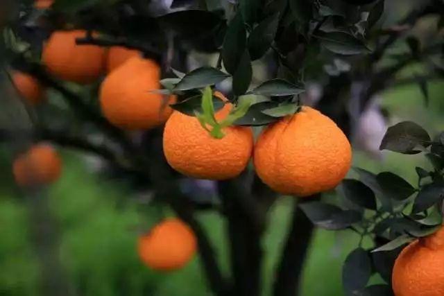 春见又名粑粑柑,这种杂柑如何种植?春见优缺点