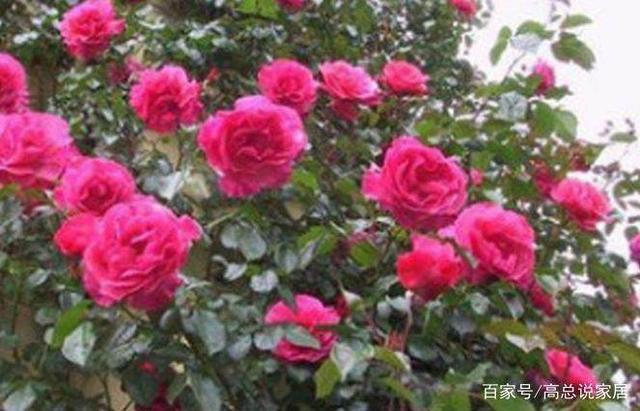 每个国家都有一种花被称为国花,你知道中国的