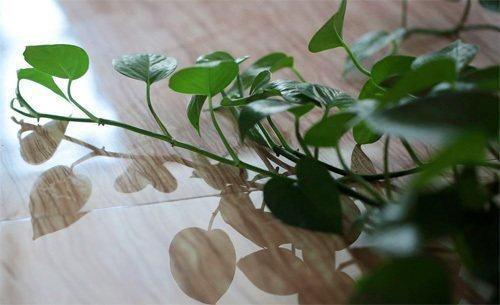 盆栽绿萝怎么浇水才好?浇水过度会死吗?