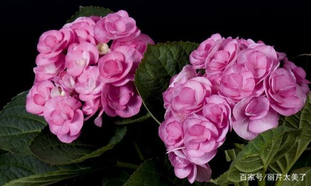 绣球花的种植方法和它的象征意义