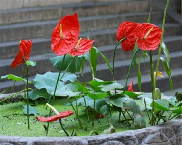 在家中养护红掌应该如何繁殖?掌握方法红掌繁