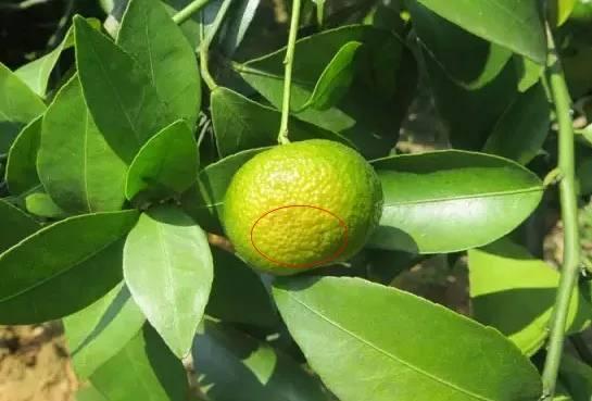 柑橘转色期,当心油斑病找上门!