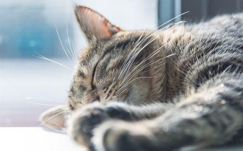猫癣用什么药,猫咪得了猫藓用什么药