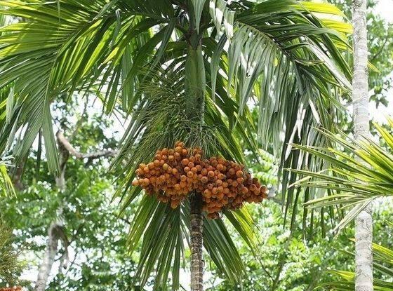 很多南方人爱吃的槟榔,被联合国评为一级致癌