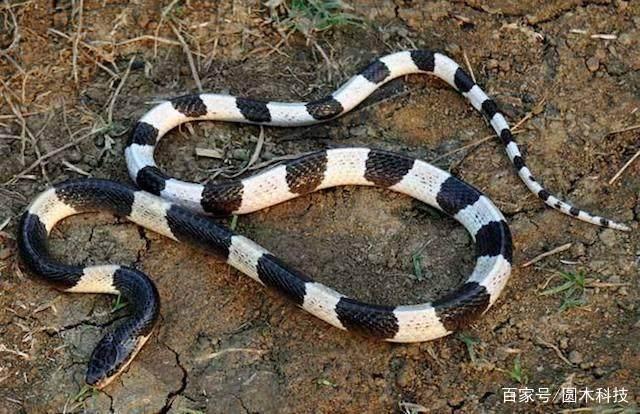 金环蛇和银环蛇哪个毒性更大?今天可算知道了