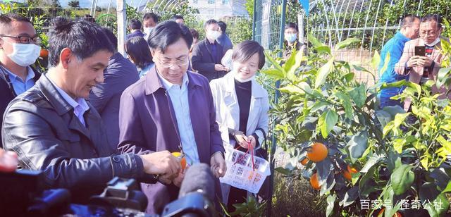 宜昌磨市:柑橘红美人熟了,肉如果冻落口化渣,入园采摘8元/斤