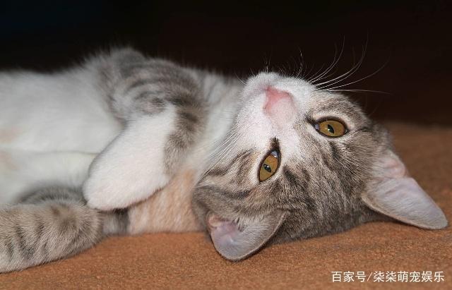 中华田园猫,中国自己的本地猫的形态特征和性